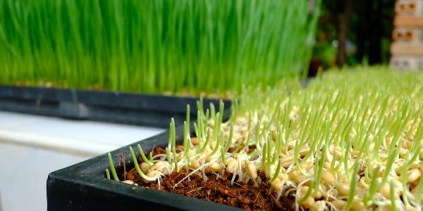 kiemen groene groente superfood detoxen